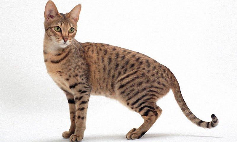 Кошка Саванна.