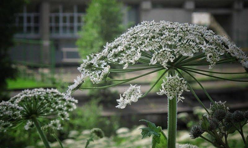 Борщевик фото растения